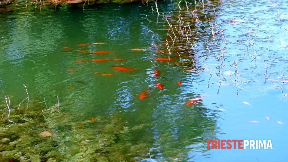 Risultati immagini per pesci rossi in uno stagno - immagìne bella ?
