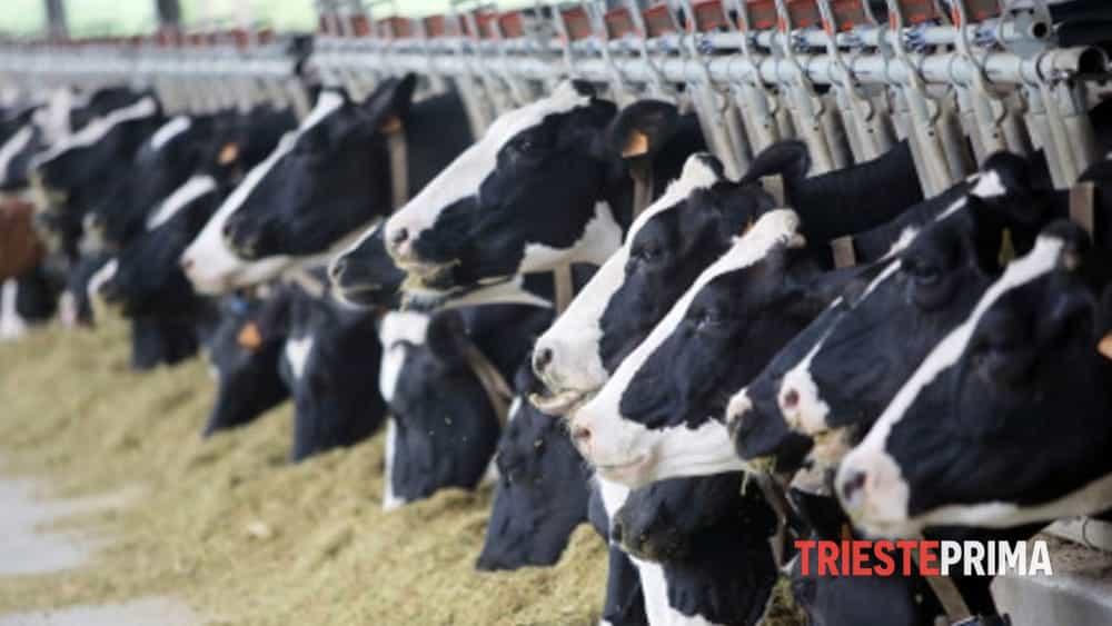 Crisi settore latte, Shaurli: «Prezzo alla stalla troppo basso, rischio scomparsa piccoli ...